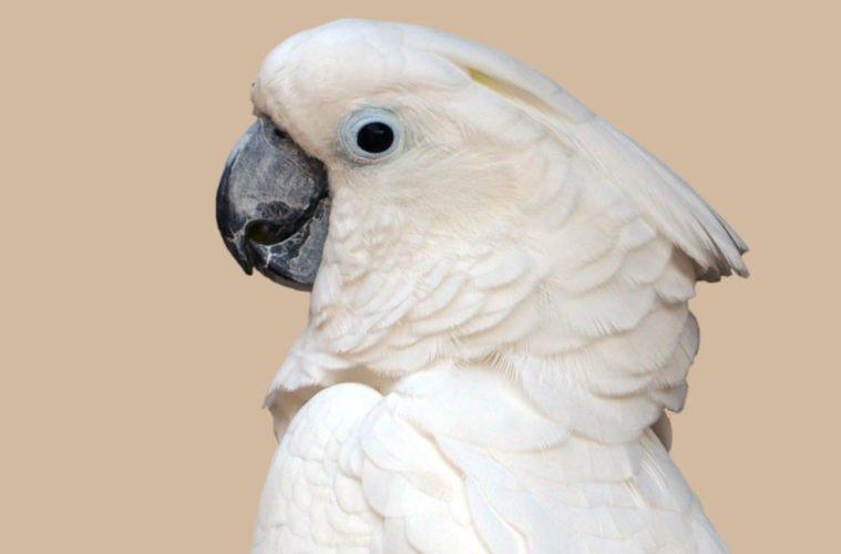 попугай лает