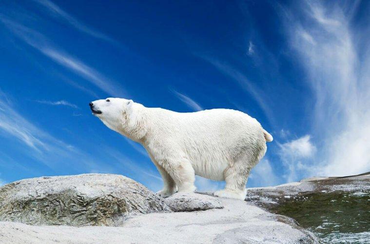 Факты о белых медведях