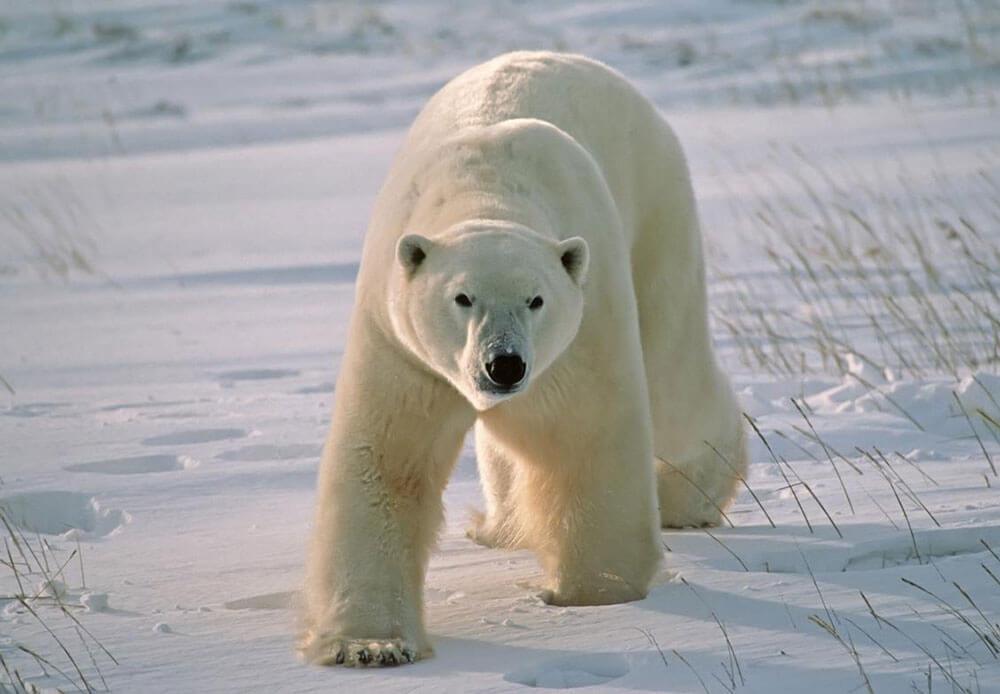 белые медведи факты