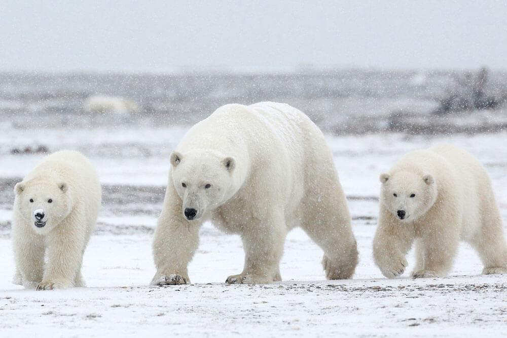 белая медведица и медвежата