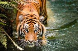 Чампаватская тигрица