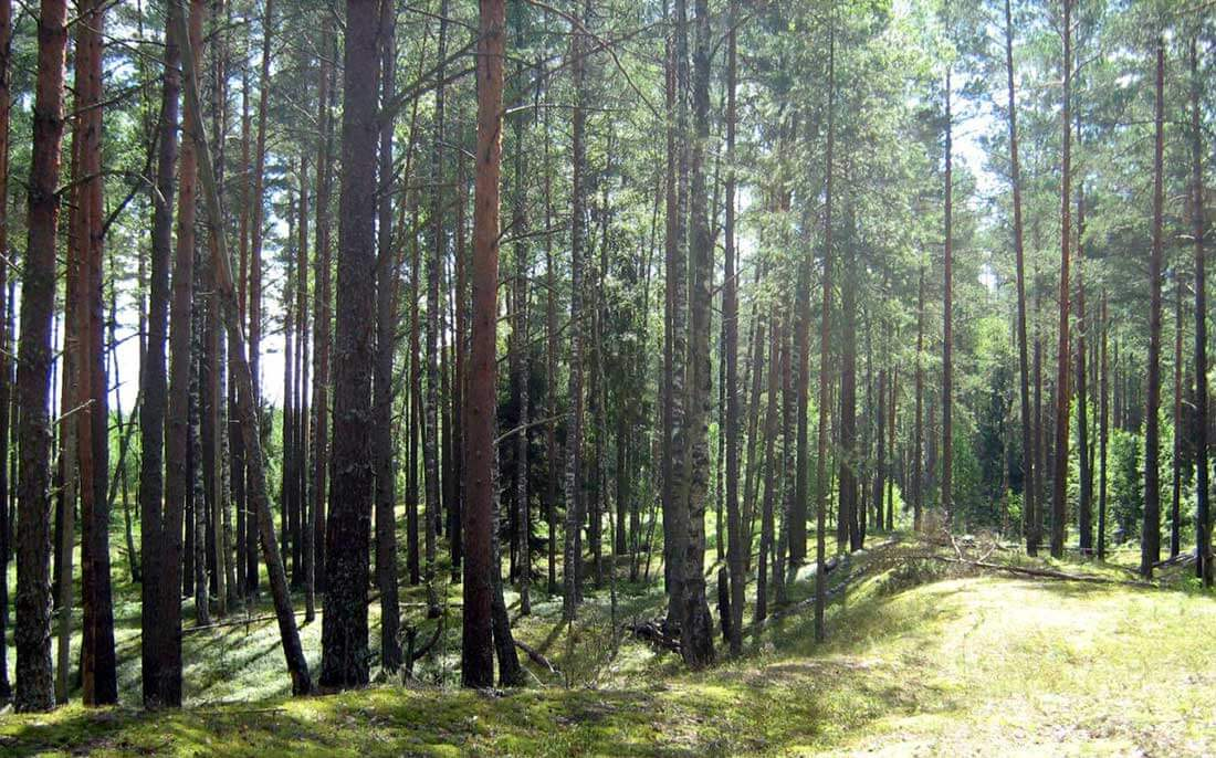 смоленский лес