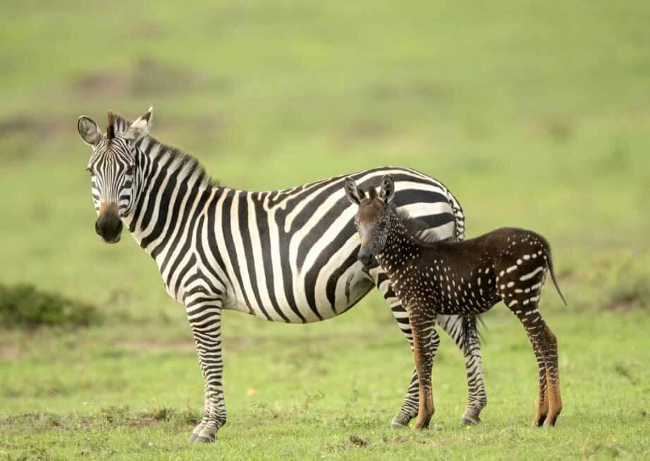 интересные факты: зебры в горошек